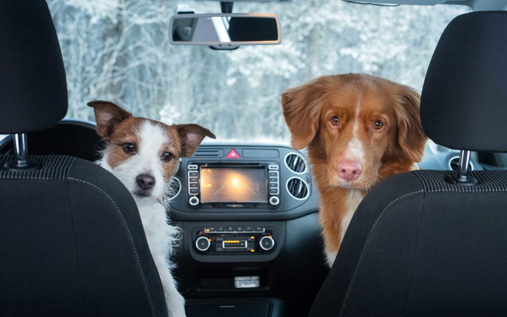 Dogs in the driving seat of a car
